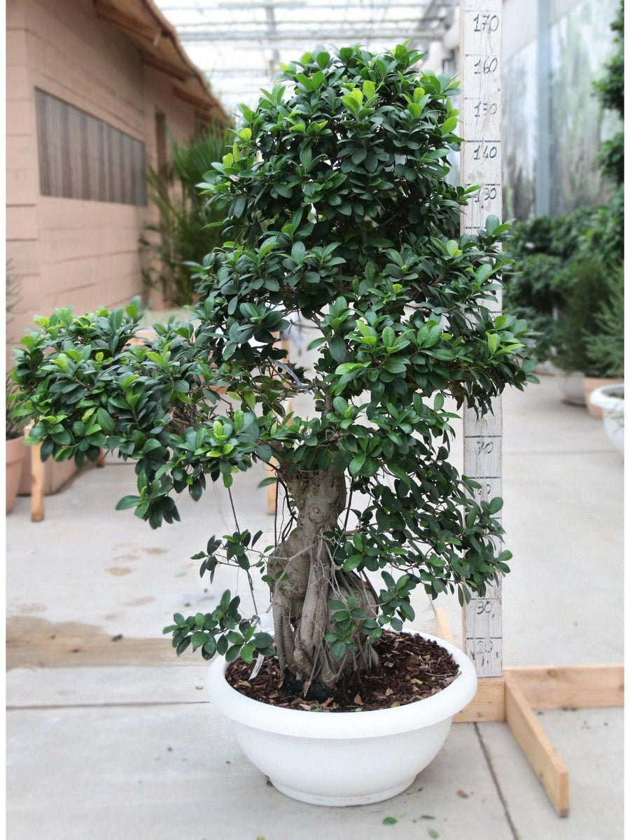 Bonsai Ficus 'Strong' extra /H 160 Cm. - Casita Hermosa