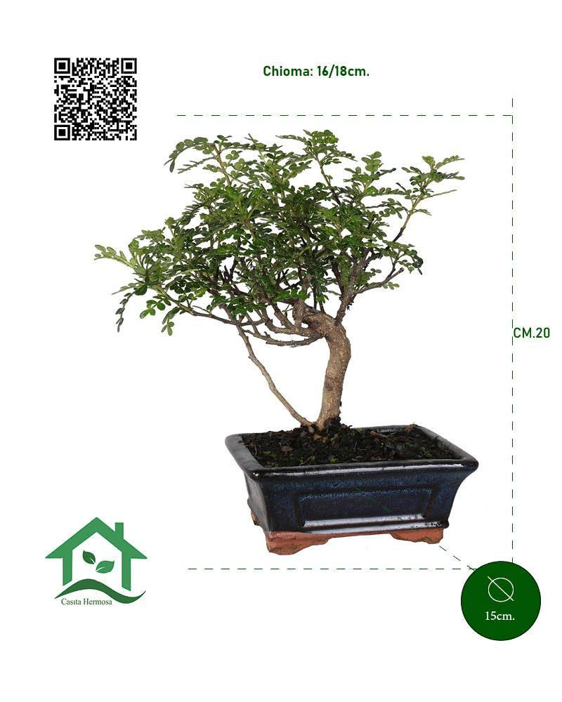 Bonsai Pepper alberello vaso ceramica Ø15 cm. - Casita Hermosa