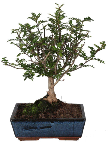 Bonsai Pepper alberello vaso ceramica Ø20 Cm./H 25 Cm. - Casita Hermosa