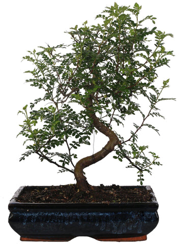 Bonsai Pepper ('S' shape) vaso ceramica Ø30 Cm./H 50 Cm. - Casita Hermosa