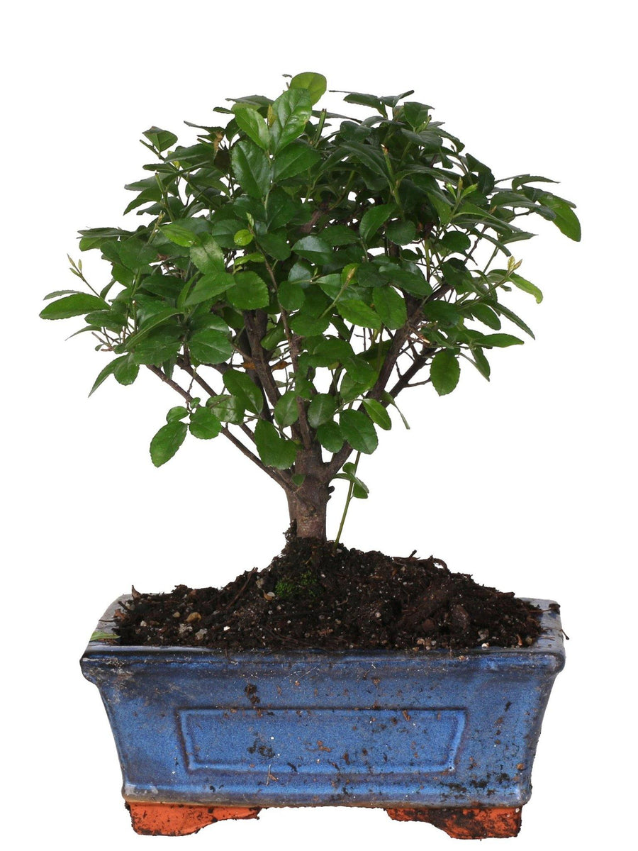 Bonsai Sageretia (Ball Shape) in vaso ceramica Ø15 Cm./H 25 Cm. - Casita Hermosa