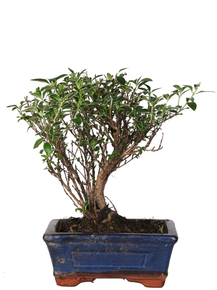 Bonsai Serissa variegato (Ball Shape) in vaso ceramica Ø15 Cm./H 25 Cm. - Casita Hermosa