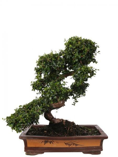 Carmona Bonsai In Traditionele Terracotta Diameter 50 Cm. - Casita Hermosa