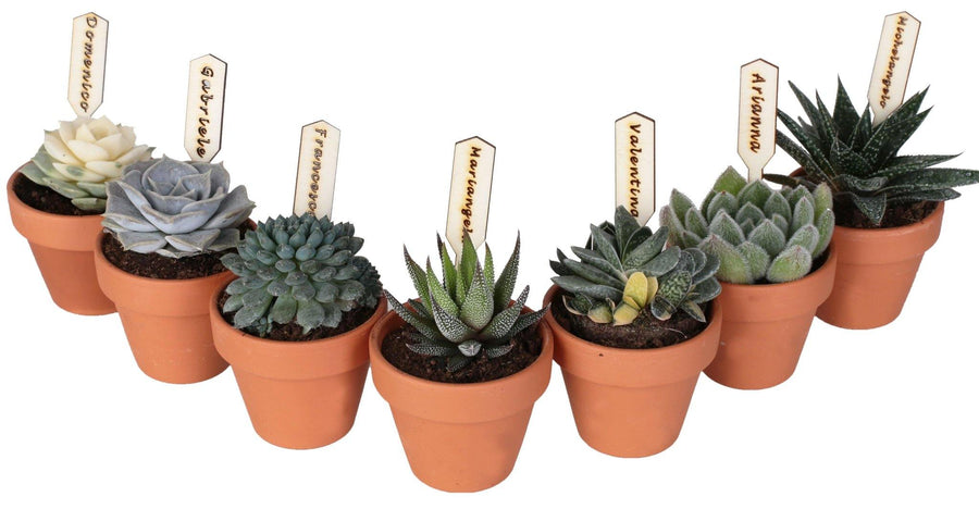 Collezione di 7 succulente mini in vaso terracotta Ø7 Cm. - Casita Hermosa