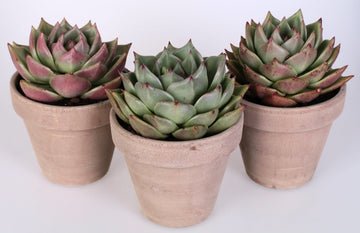 Echeveria costarii 3 piante in vaso terracotta Ø13 Cm./H 20 Cm. - Casita Hermosa