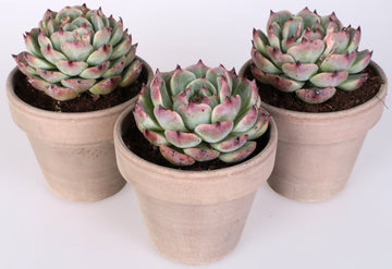 Echeveria parva 3 piante in vaso terracotta Ø11 Cm./H 16 Cm. - Casita Hermosa
