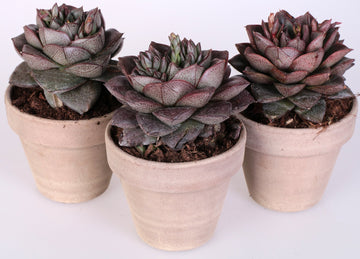 Echeveria purpusorum 3 piante in vaso terracotta Ø11 Cm./H 16 Cm. - Casita Hermosa