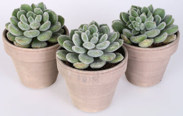 Echeveria setosa 3 piante in vaso terracotta Ø11 Cm./H 15 Cm. - Casita Hermosa