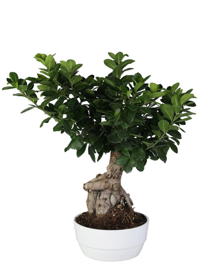 "Bonsai Ficus Microcarpa ""Ginseng"" In Ceramica Tonda Diametro 20 Cm , Altezza 55 Cm - Casita Hermosa"