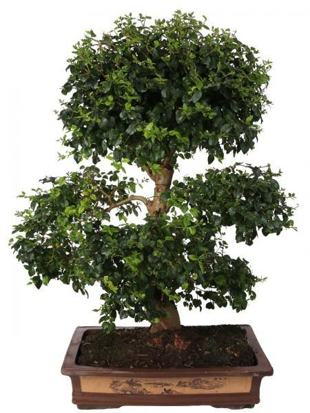 Bonsai Di Ligustrum In Terracotta Tradizionale Diametro 50 Cm. - Casita Hermosa