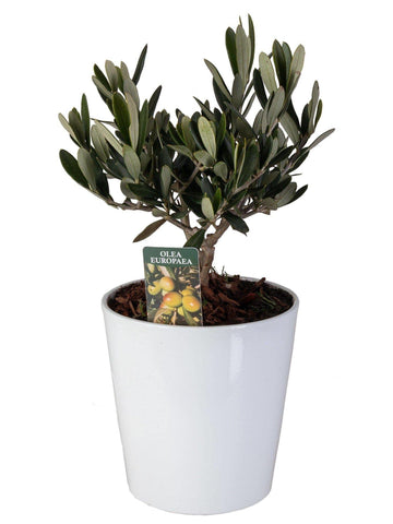 Olivo mini Bonsai in vaso ceramica tondo Ø13 Cm./H 27 Cm. - Casita Hermosa