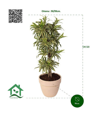 Dracaena Reflexa  Pleomele Song of India