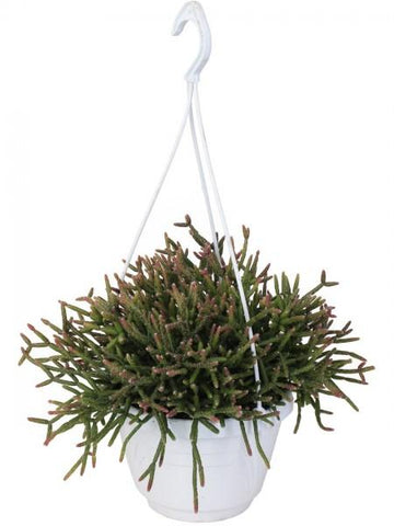 Rhipsalis burchelli in vaso basket Ø20 Cm. - Casita Hermosa