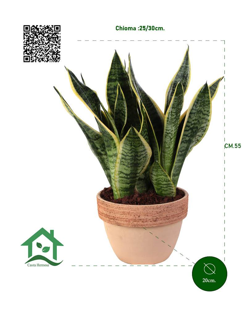 Sansevieria superba in vaso terracotta Ø20/H 55 Cm. - Casita Hermosa