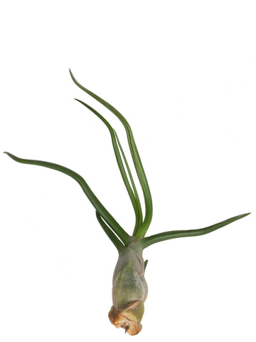 Tillandsia bulbosa 2 piante /H 6 Cm. - Casita Hermosa
