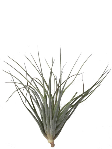 Tillandsia stricta 2 piante /H 10 Cm. - Casita Hermosa