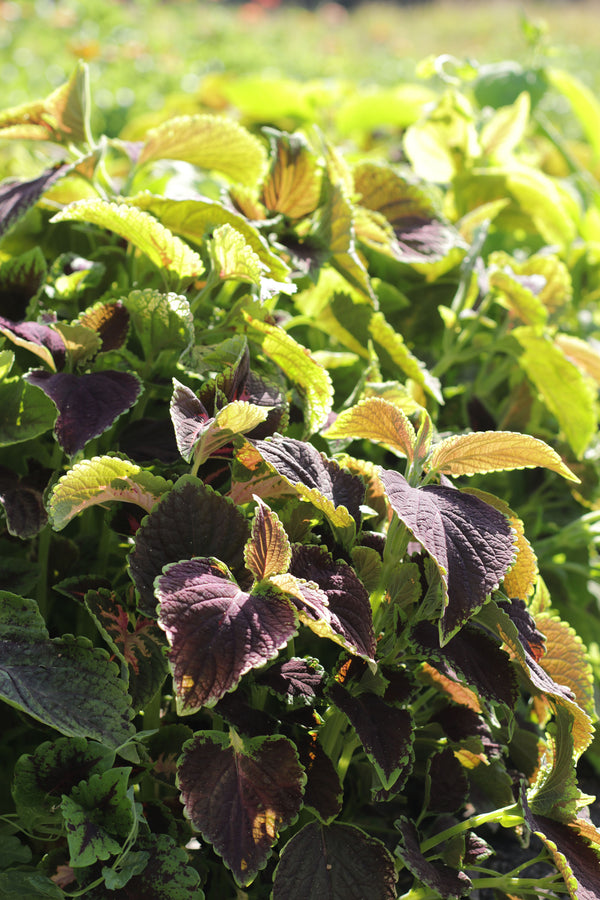 COLEUS 'Greenery Wizard Mix'