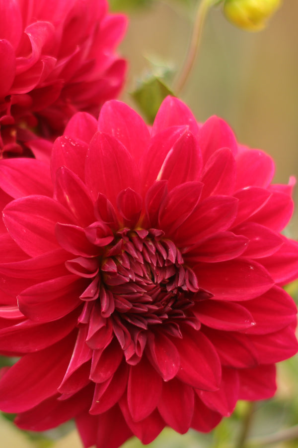 "Dahlia ""Forest Berry"" #5"