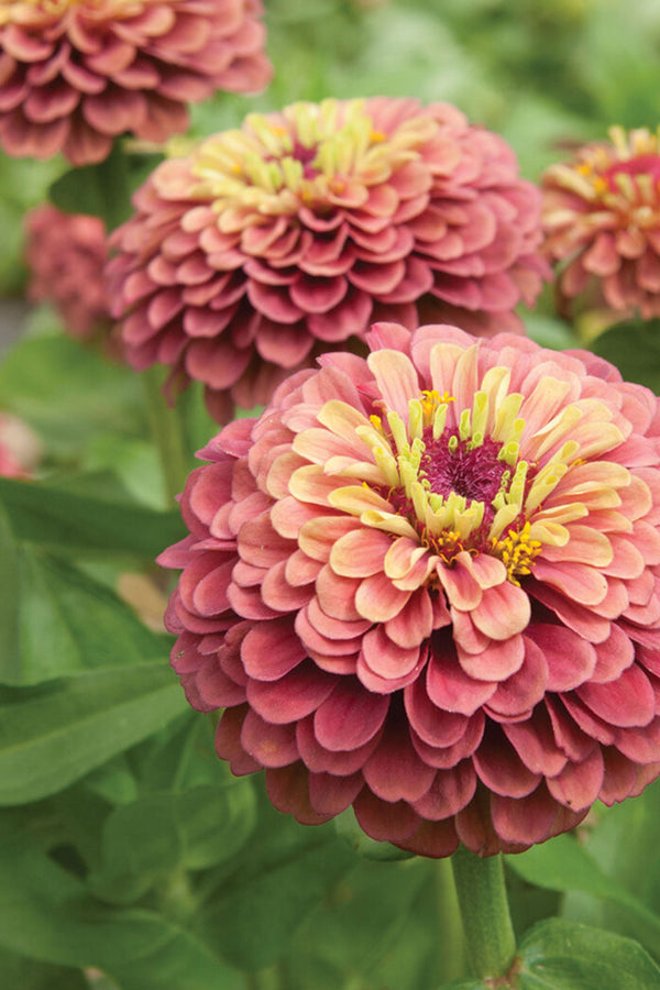 ZINNIA QUEEN LIME 'Vintage Mix'
