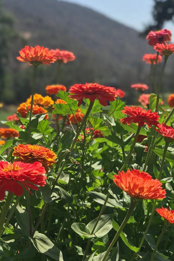 ZINNIAS GIANT 'Glow Mix'