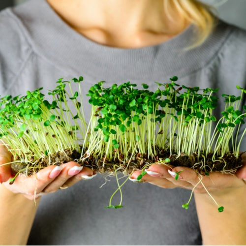 Homegrown Sprouts for a Healthier Gut