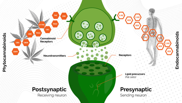 The Endocannabinoid System - an infographic
