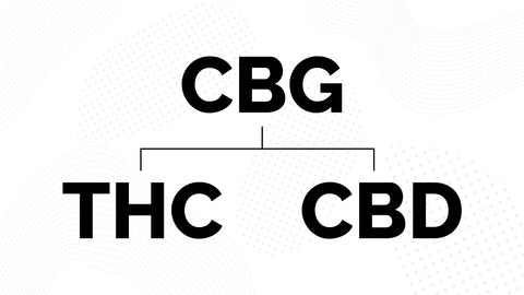 CBGA branches into THC and CBD graphic
