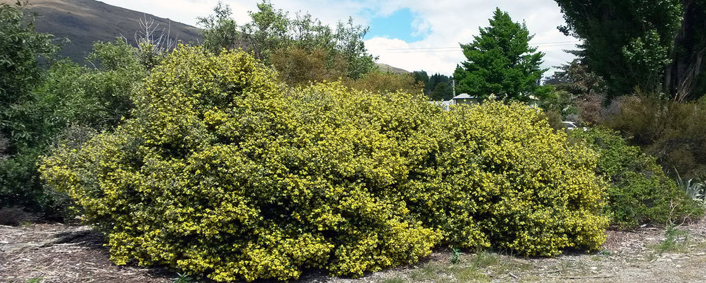 Corokia yellow wonder