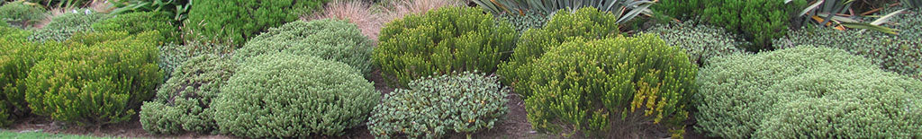 new zealand hebes alpine varieties