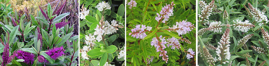 new zealand hebes flowering shrub