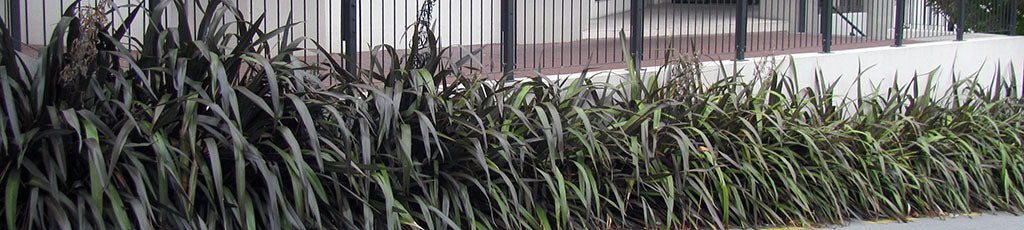 phormium cookianum purple wharariki purple maountain flax