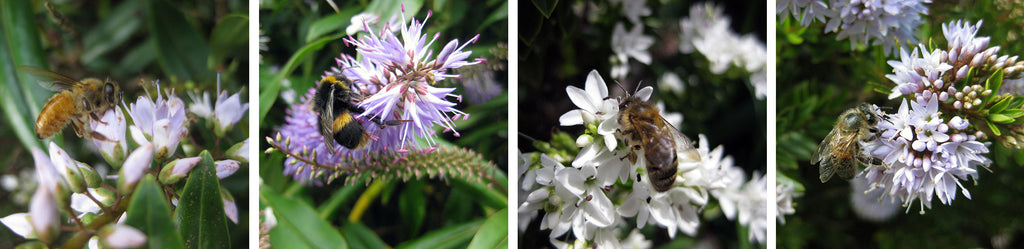 flowers on new zealand hebes plants for bees