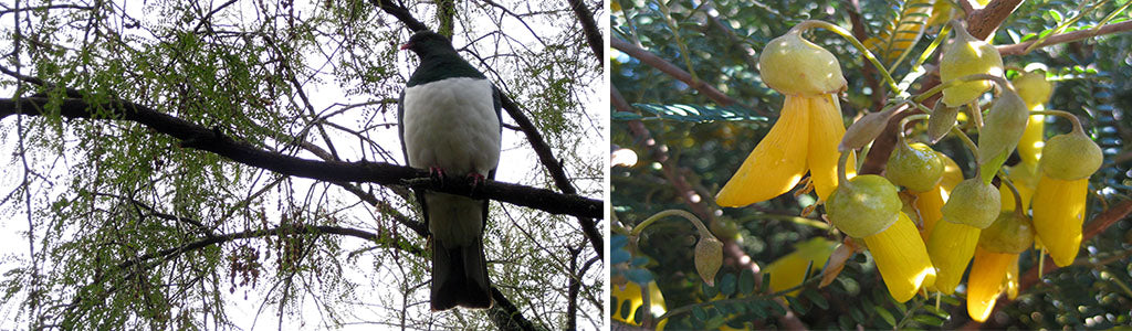 nz natives to attract birds sophora microphylla