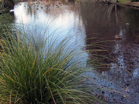 Riparian_carex_secta_SD1UENBTUKMS.JPG