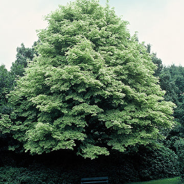 Acer platanoides 'Variegatum' - Variegated Norway Maple