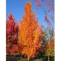 Acer Rubrum 'JFS-KW78' - Armstrong Gold® Maple