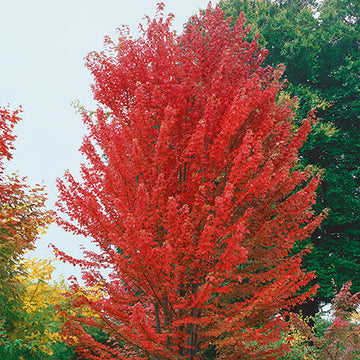 Acer x Freemanii 'Jeffersred' - Autumn Blaze® Maple