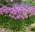 Allium 'Serendipity' - Serendipity Ornamental Onion