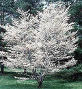 Amelanchier 'Autumn Brilliance' Multi Stem - Autumn Brilliance Serviceberry