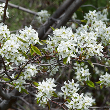 Amelanchier Canadensis - Downy Serviceberry Multi Stem