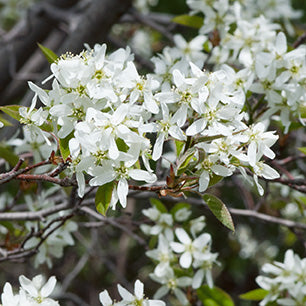 Amelanchier canadensis 'Glennform' - Rainbow Pillar® Serviceberry