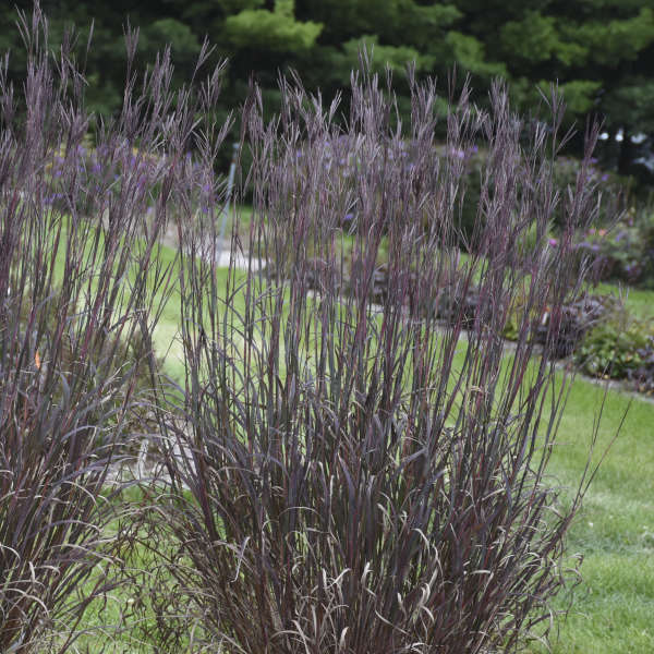 Andropogon Gerardii 'Blackhawks' - Blackhawks Big Bluestem