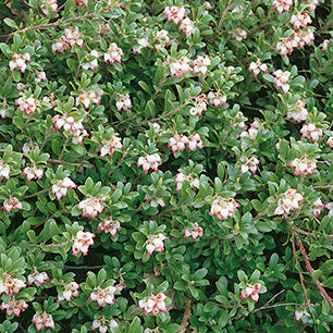 Arctostaphylos Uva-Ursi 'Massachusetts' - Common Bearberry
