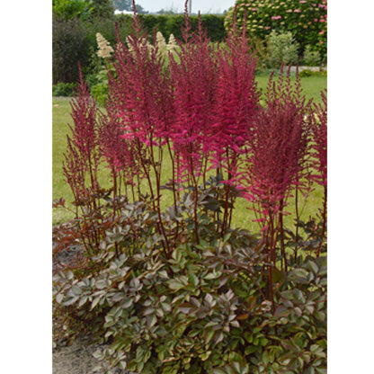 Astilbe Chinensis 'Mighty Chocolate Cherry' - Mighty Chocolate Cherry Astilbe