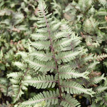 Athyrium Niponicum var. 'Apple Court' - Apple Court Japanese Painted Fern