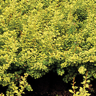 Berberis Thunbergii 'Aurea Nana' - Dwarf Golden Barberry