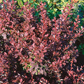 Berberis Thunbergii 'Bailone' - Ruby Carousel® Barberry