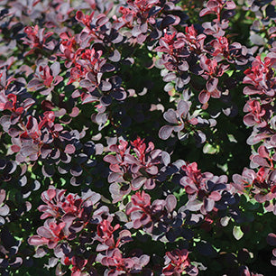 Berberis Thunbergii 'Gentry' - Royal Burgundy® Barberry