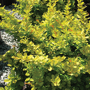 Berberis Thunbergii 'Monry' - Sunsation® Barberry