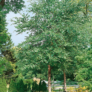 Betula Nigra 'Cully' Single Stem - Heritage® River Birch